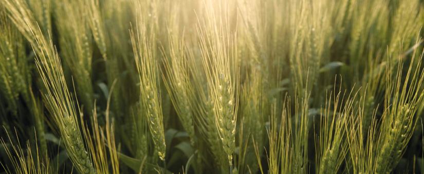 Универсальная защита всходов зерновых