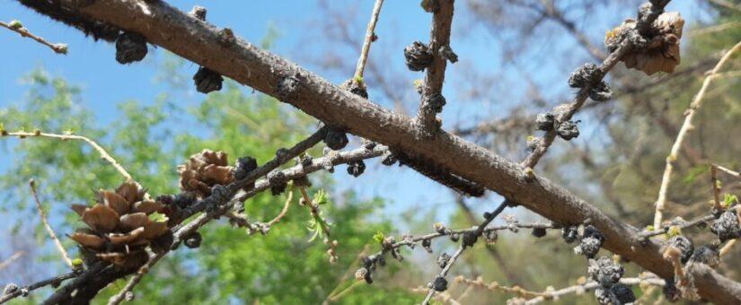 В Якутии завершены АХР по обработке лесов от сибирского шелкопряда